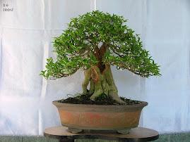Water Jasmine (wrightia religiosa )