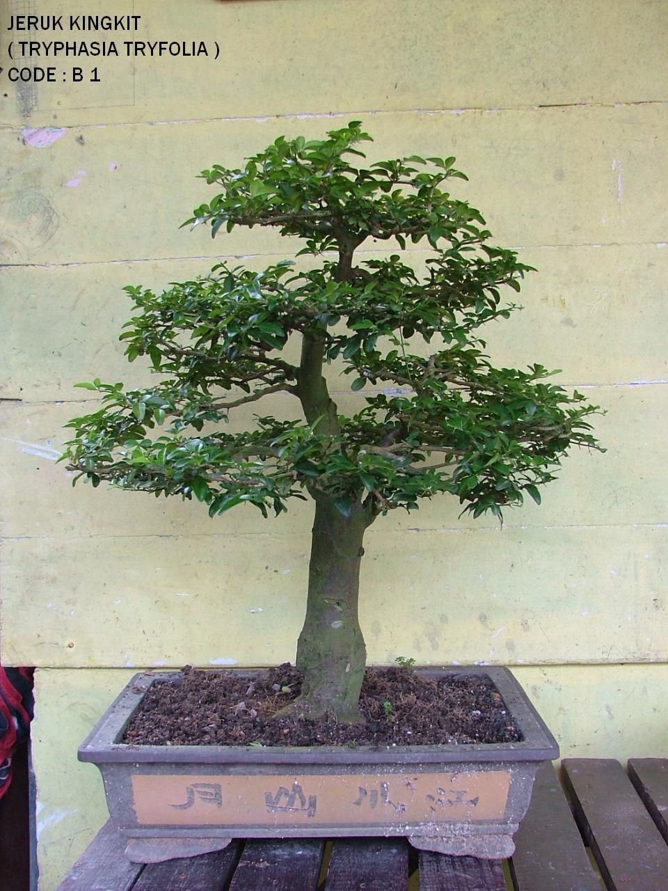 BONSAI DAN PERJALANAN