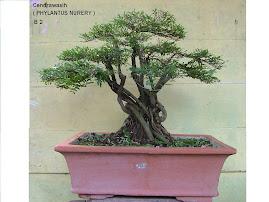 Cendrawasih (phylantus nurery )