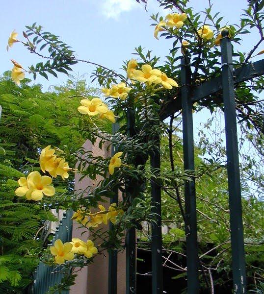 Manfaat Bunga Alamanda Toko Bunga