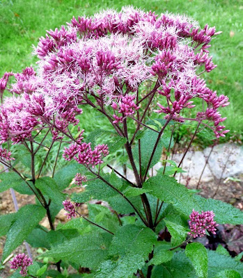 091129+eupatorium+ankum+august.jpg
