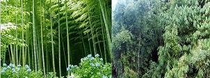Papringan - kebun bambu
