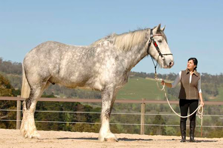 The Biggest Horse In The World. Nodram is the tallest horse in