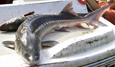 10 Ikan Prasejarah yang Masih Hidup Sampai Sekarang