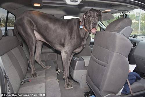 World's Tallest Dog