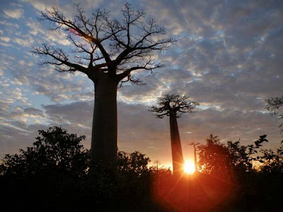 Baobab Tree or Upside-Down Tree