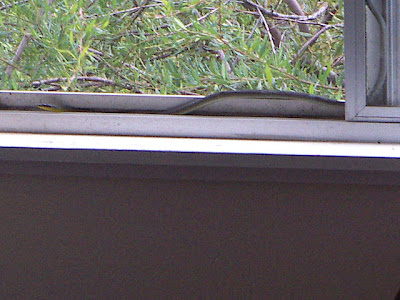 Photo by Deirdre: a snake on the windowsill, INSIDE the window, IN THIS ROOM, reader! IN THIS ROOM! It was tiny, probably less than a metre long and probably even more scared than me, but the principle, reader - the principle! This is MY room! MINE! Am I overreacting? Hell yeah! Am I still shaking, hours later? Yes.
