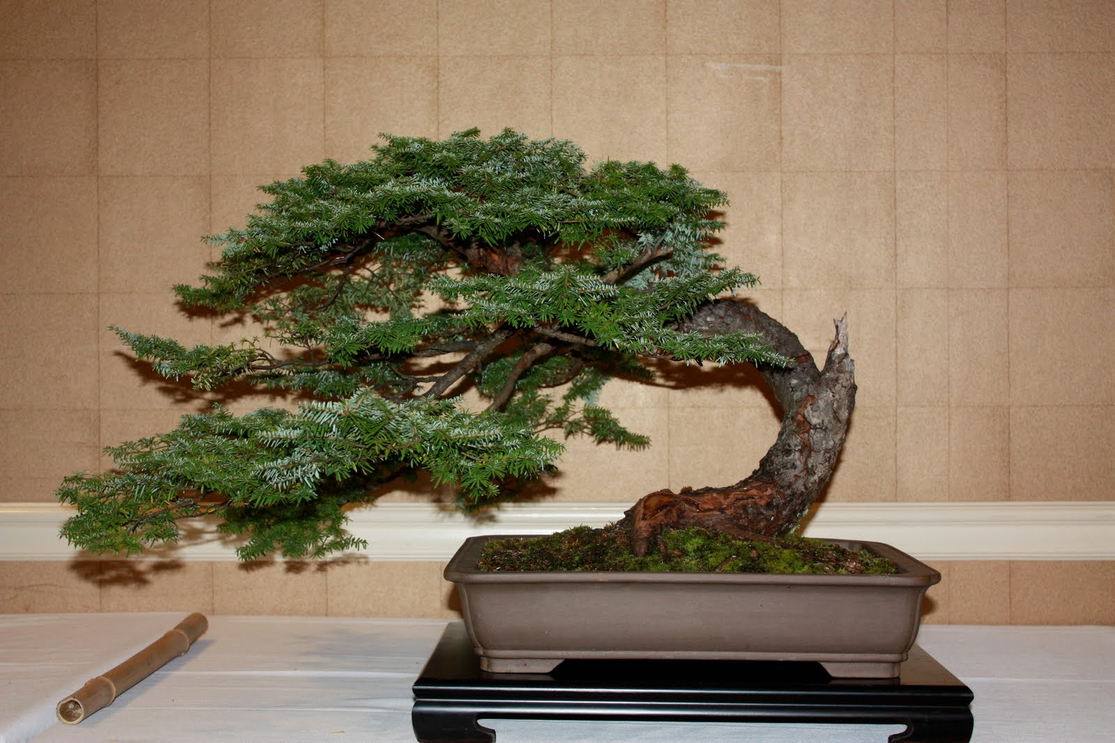 Woodland Bonsai Mountain Hemlock V Tsuga Mertensiana