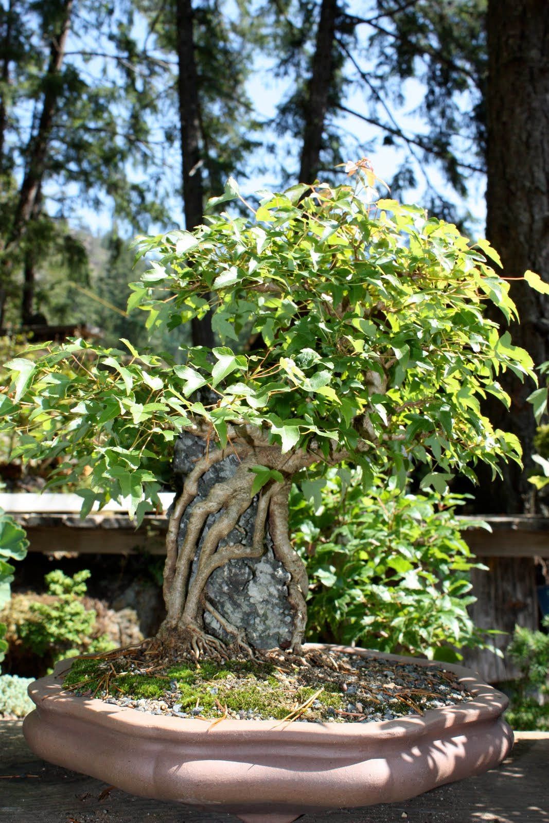 Woodland Bonsai Trident Maples V Acer Burgerianum Part 1