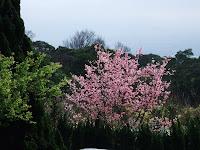超美櫻花樹-1