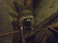 夜行館浣熊