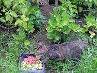 搶狐獴食物的貓