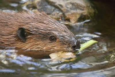 Beavers have Longer Days in Winter