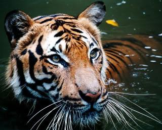 Harimau Malaya/Malayan Tiger