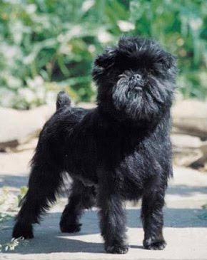 Affenpinscher Dog Puppies