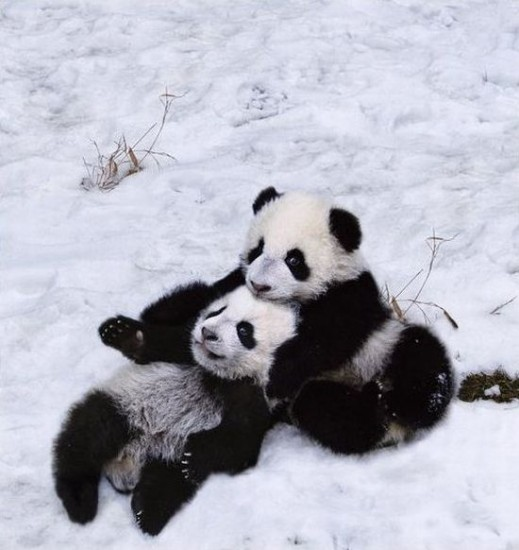 Lanny-yap: Pandas Playing In The Snow