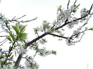 mini appelboom snoeien