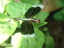 Pied Paddy Skimmer (male)