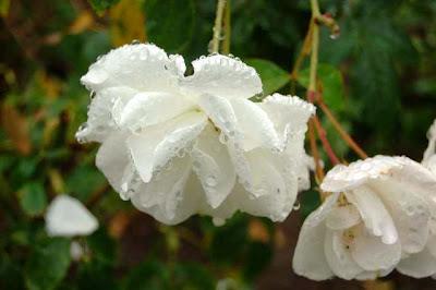 BUENOS Y AGRADABLES BUENOS DIAS   - Página 2 Rosas+blancas+llorosas