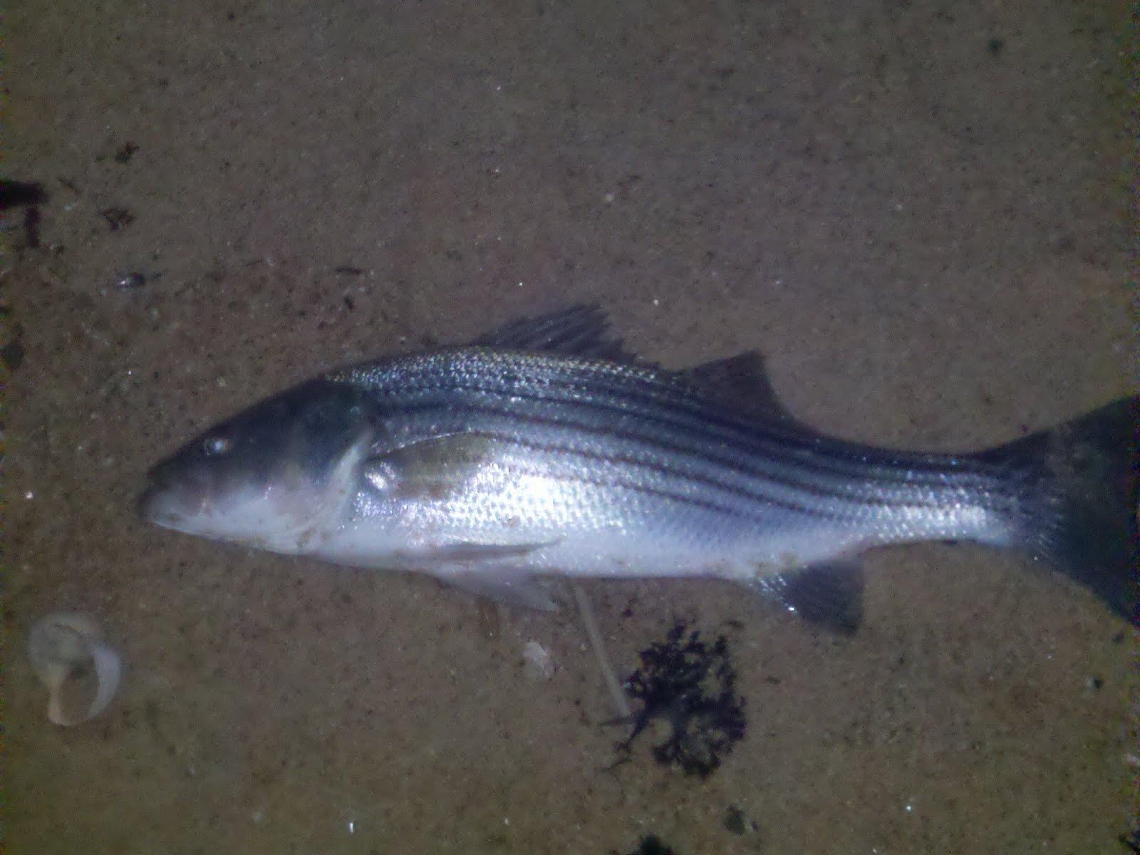 Southside surf striped bass montauk fishing reports for Striped bass fishing reports