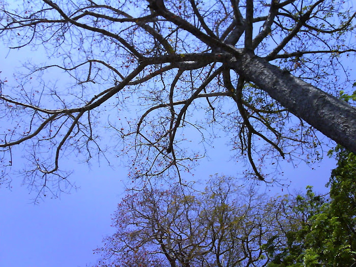 Pohon Rangdu