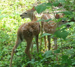 Fawn twins, June 14, 2008