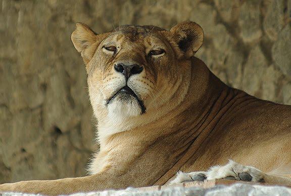 львица lion