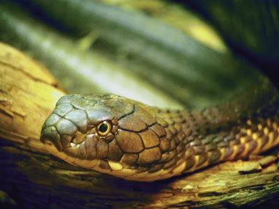 Natural World - Le baiser du serpent affiche