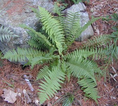 Папрати / Polypodiaceae