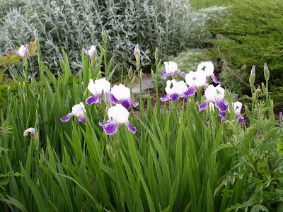 Перуника / Iris germanica