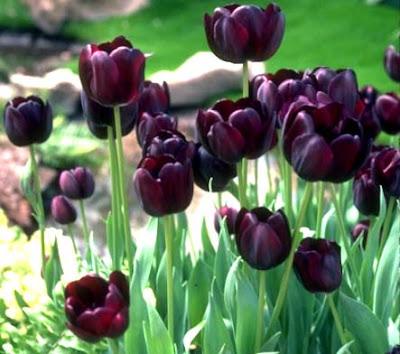 Лале / Tulipa gesneriana