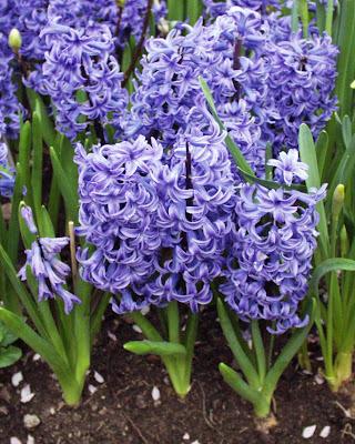Грижа за цветята - Отглеждане на Зюмбюл / Hyacinthus