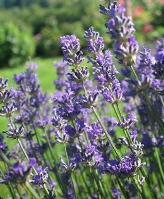 Грижа за цветята - Лавандула / Lavandula