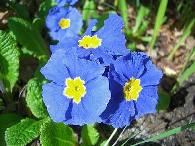 Грижа и подхранване на цветята - Иглика / Primula