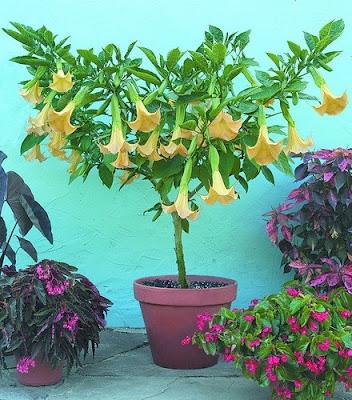 Екзотични цветя - Ангелски тромпет