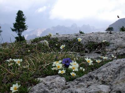 Диви цветя - сребърник или планинско омайниче