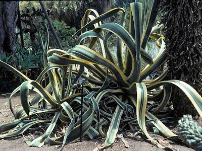 Видове кактуси - Столетник - Agave americana