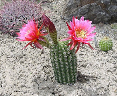 Видове кактуси - Lobivia huascha