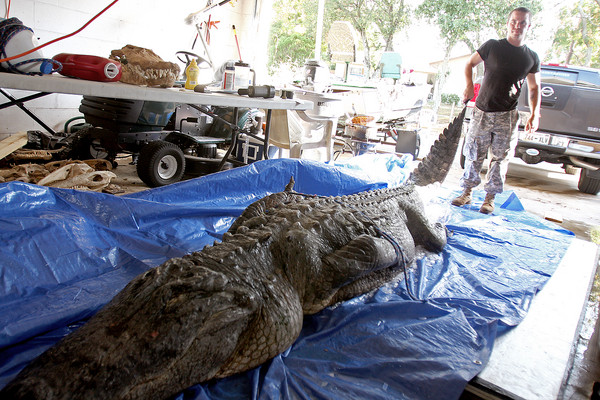 state record alligator caught in florida