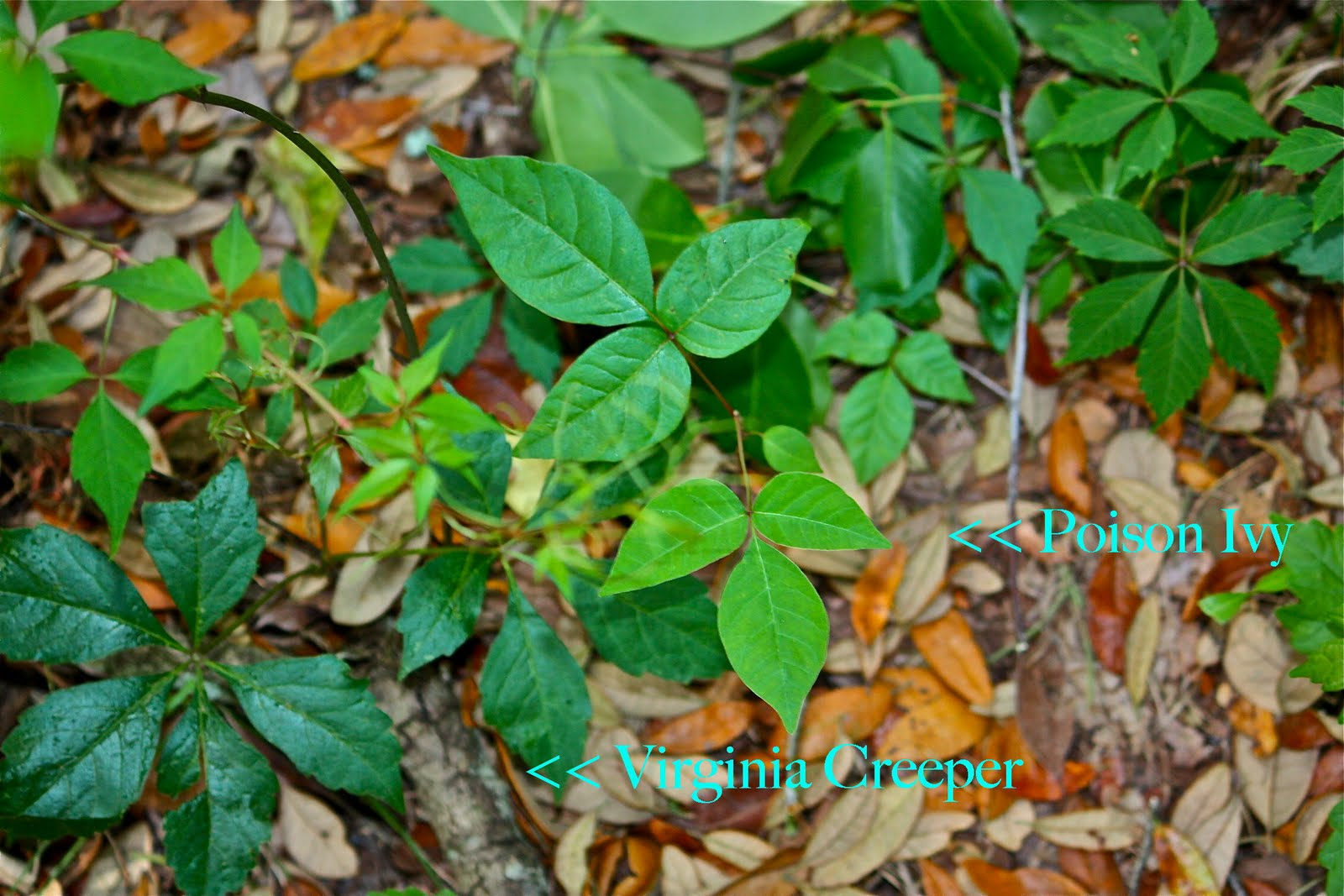 Identify the Plant | The Poison Ivy, Poison Oak, Poison ...
