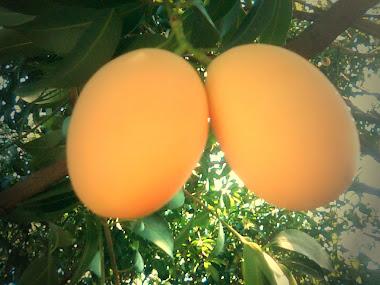 ชมผลมะยงชิดสวยๆที่สวนเกษตรเปรมปรีนะครับ