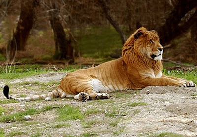 liger+cross+breed+between+lion+and+tiger