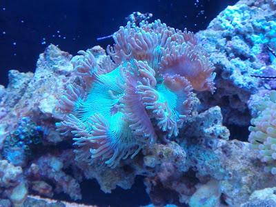 Trials and tribulations of a reef aquarium venturing into for Aquarium elegance