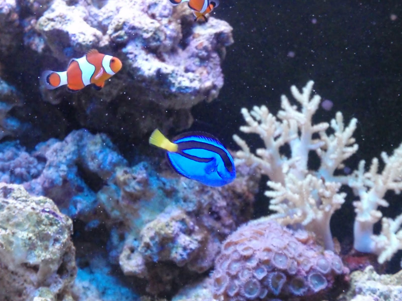 Trials and tribulations of a reef aquarium finally my for Royal blue tang fish