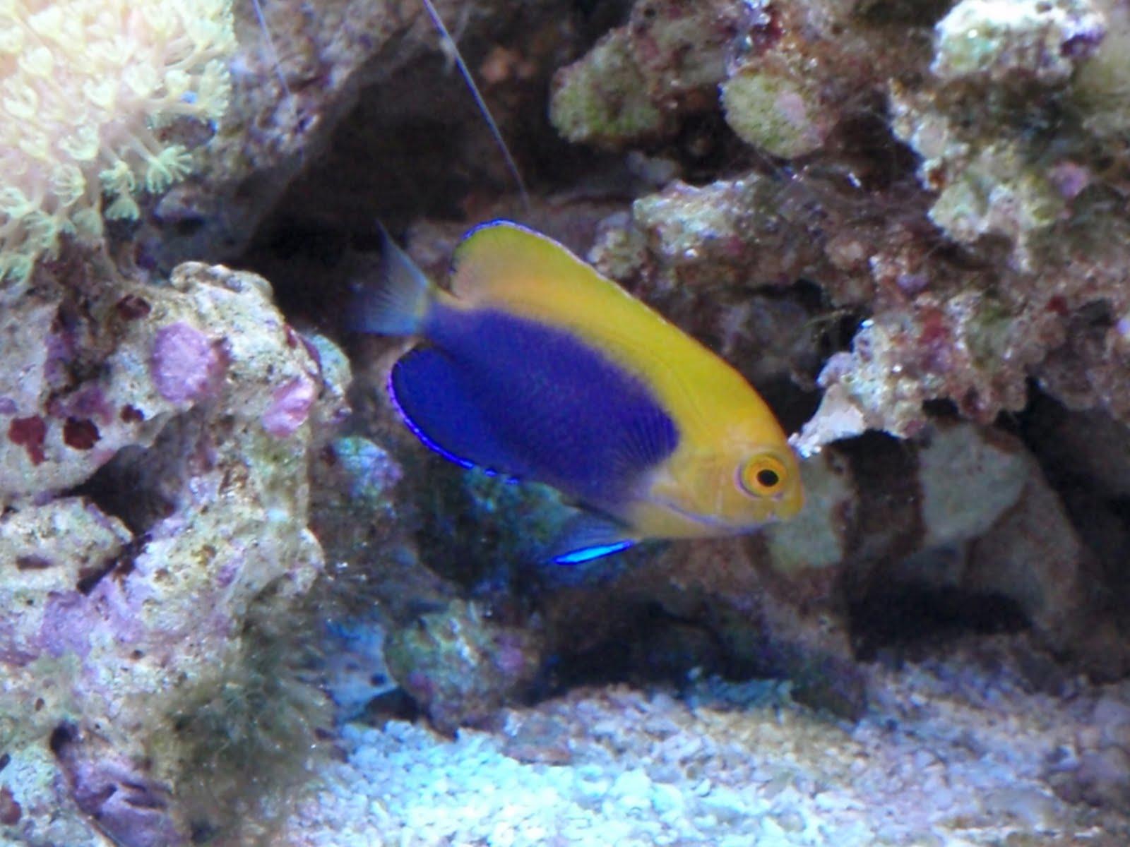 ... and Tribulations of a Reef Aquarium: African Flameback Dwarf Angel