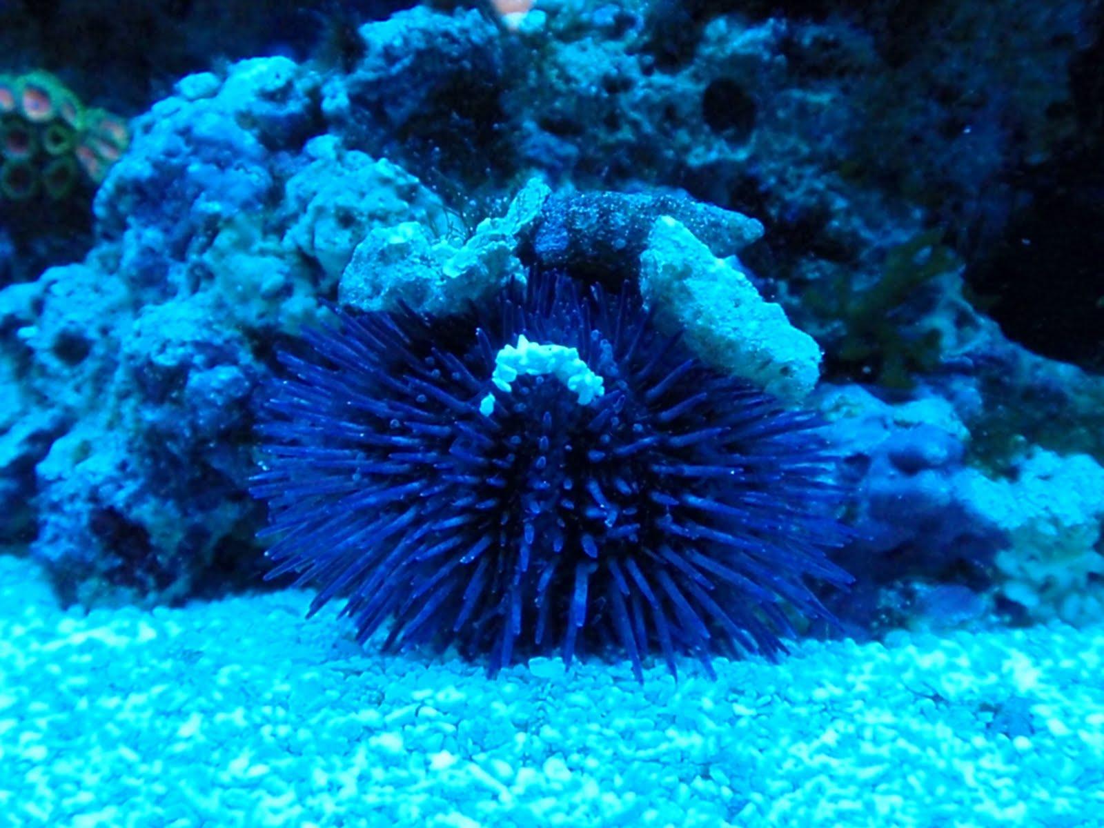 how to clean purple coraline algae