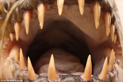 Congo Giant Piranha 3