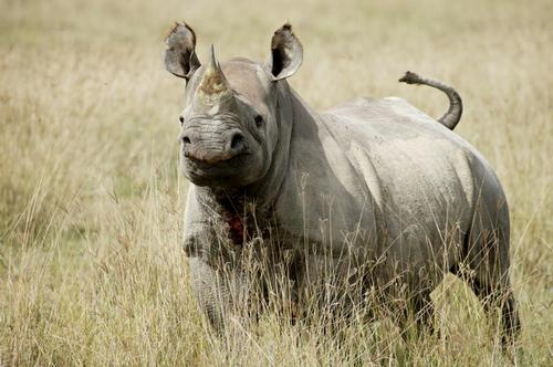 Black Rhino photo by Renaud Fulconis