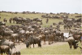 Serengeti- Nyumbu
