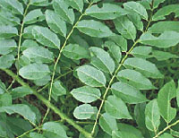 gliricidia sepium leaf extract Antimicrobial property of gliricidia sepium plant extract ethanol extract of leaves of gliricida sepium bark of gsepium and on essential oils of leaf and.
